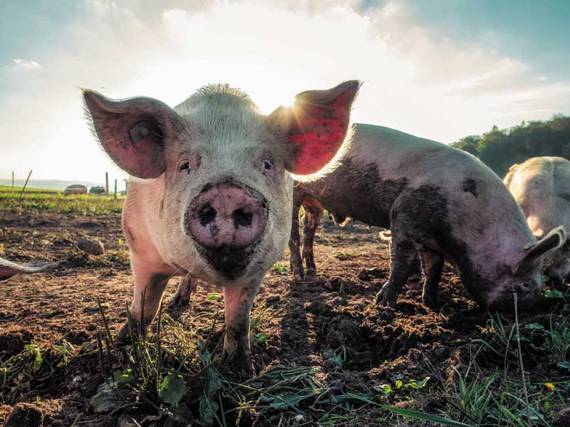 Healthy Pigs Outside